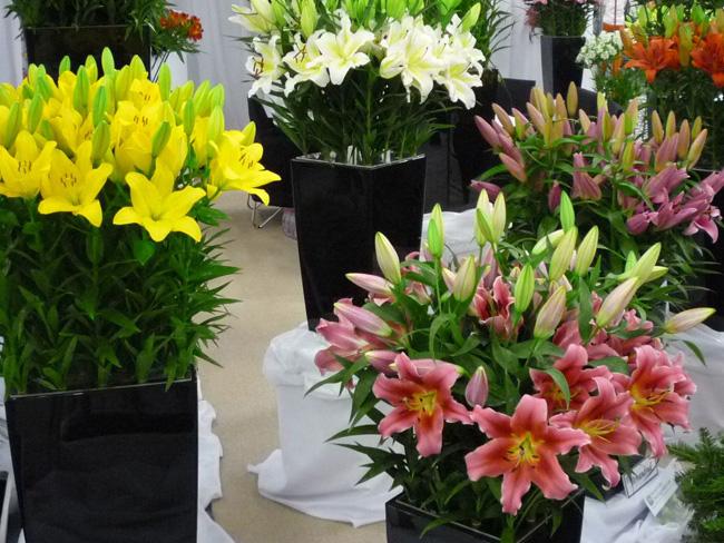 orientál és ázsiai liliomok