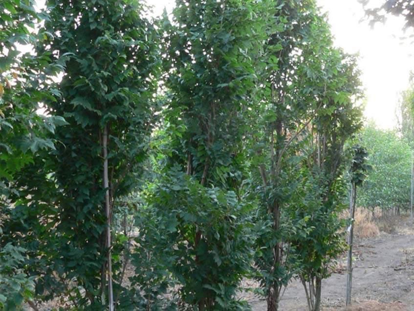 oszlopos csörgőfa