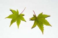 Acer palmatum subsp. amoenum