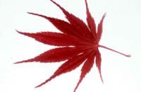 Acer palmatum subsp. palmatum