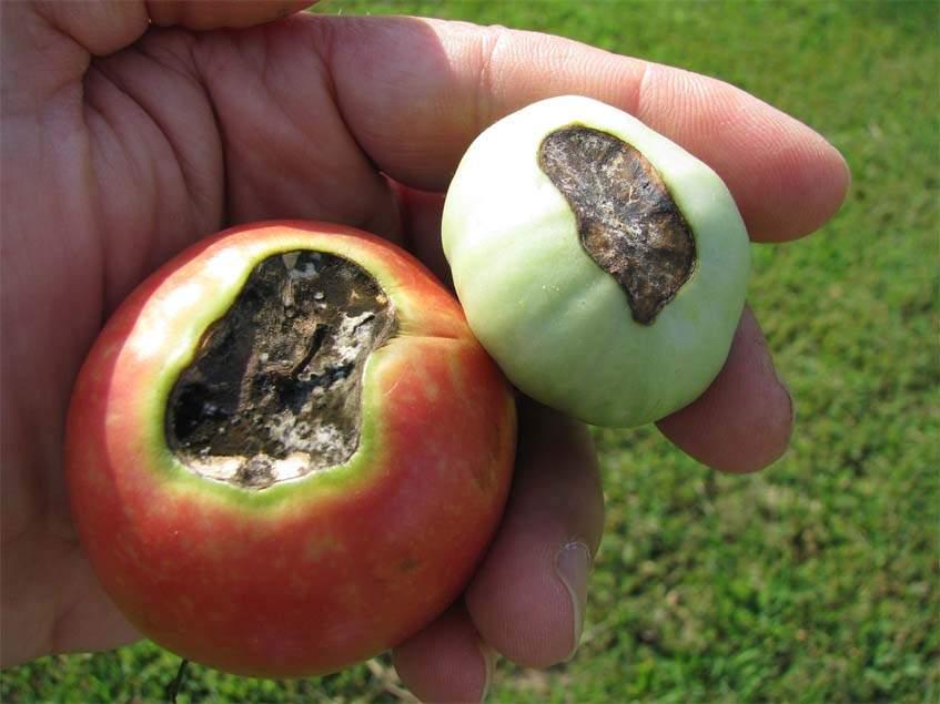 kalciumhiány paradicsomon