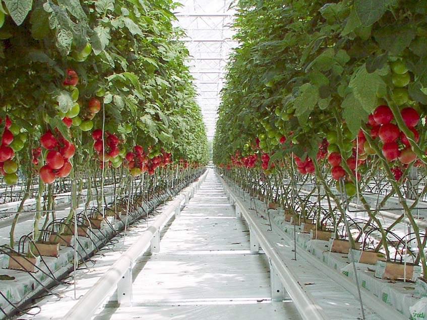 üvegházi paradicsomtermeszté