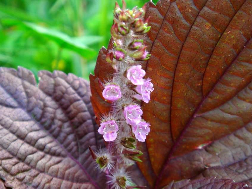 perilla virágzat
