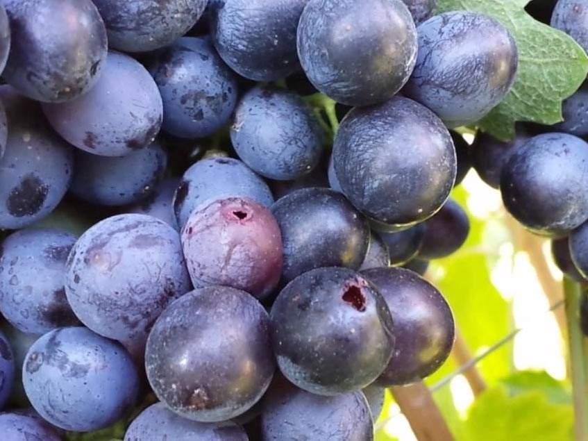 pettyesszárnyú muslica kártétele szőlőn