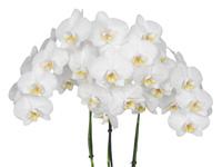 Phalaenopsis Dover
