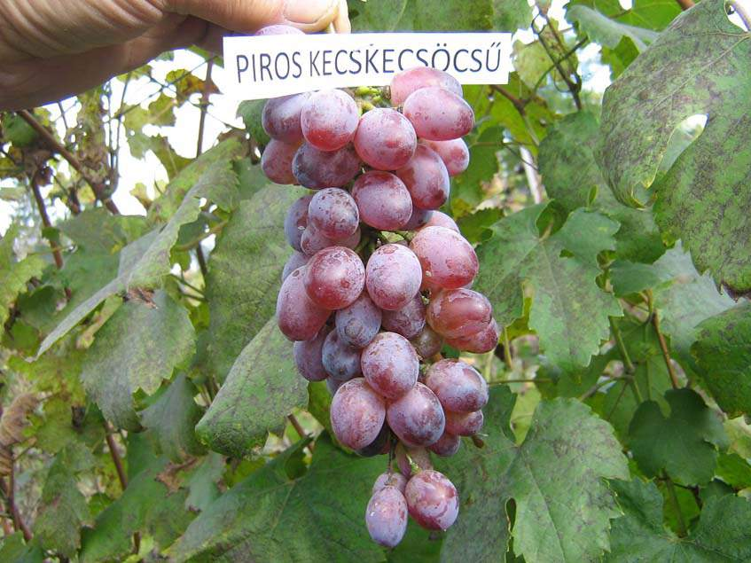 piros kecskecsöcsű szőlő