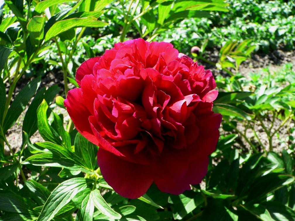piros bazsarózsa