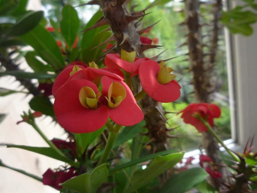 pompás kutyatej virága