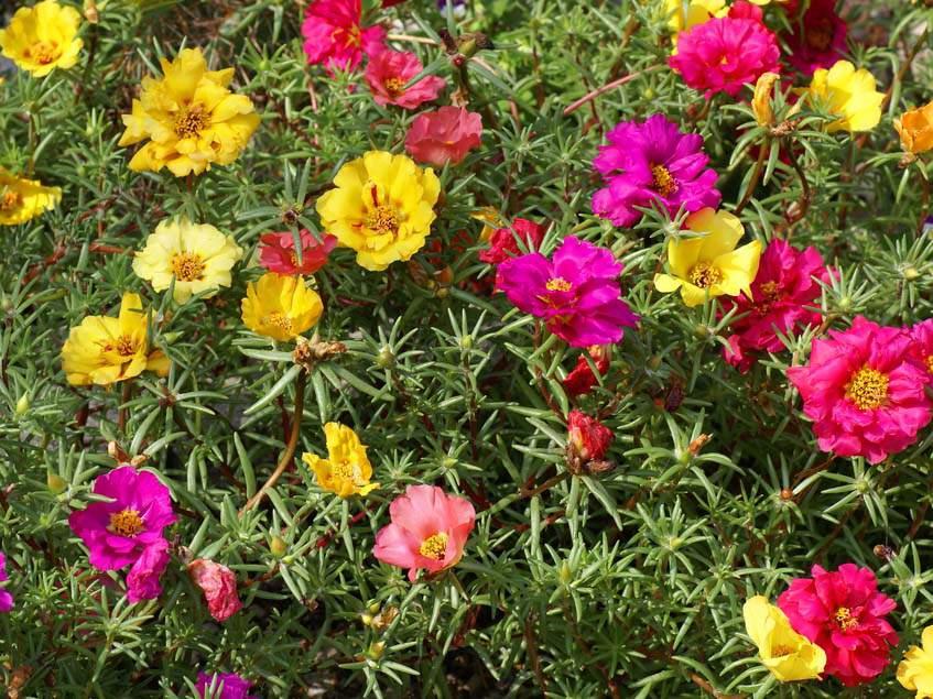 Kossuth virág