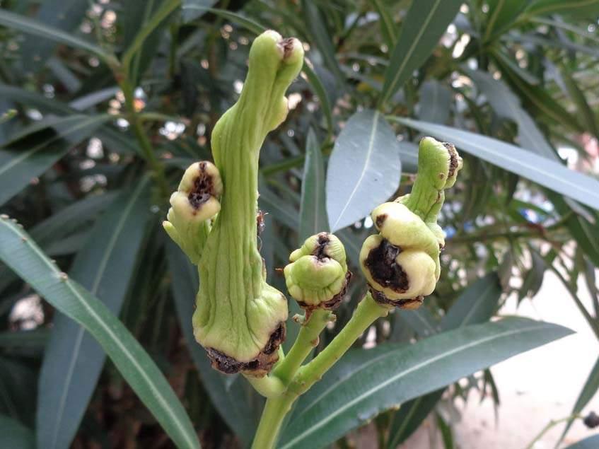 rákos leander virágzat