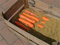 répa tárolása homokban