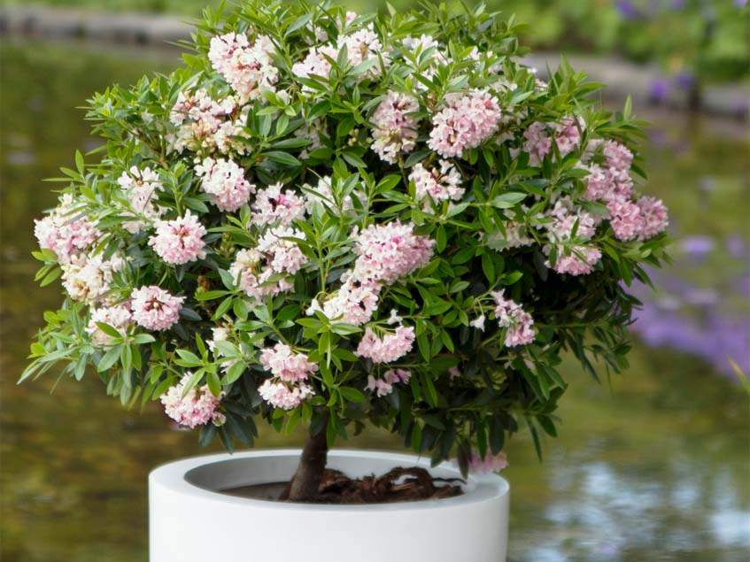 rododendron Bloombux