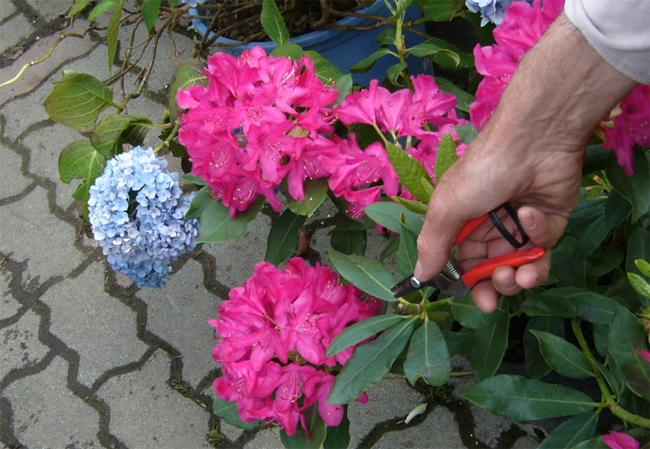 rododendron metszése