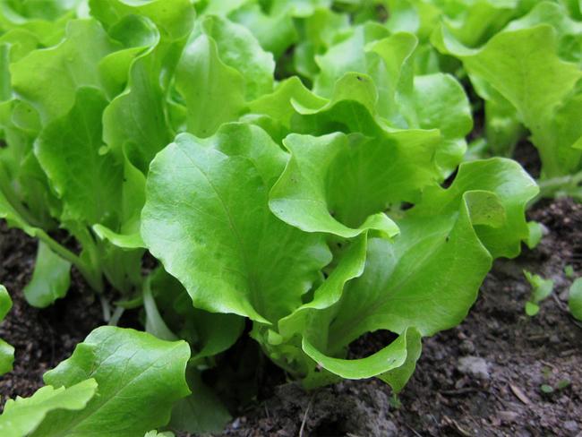 római saláta