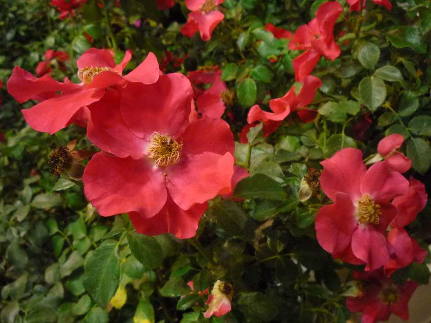 Talajtakaró rózsa Stadt Rom