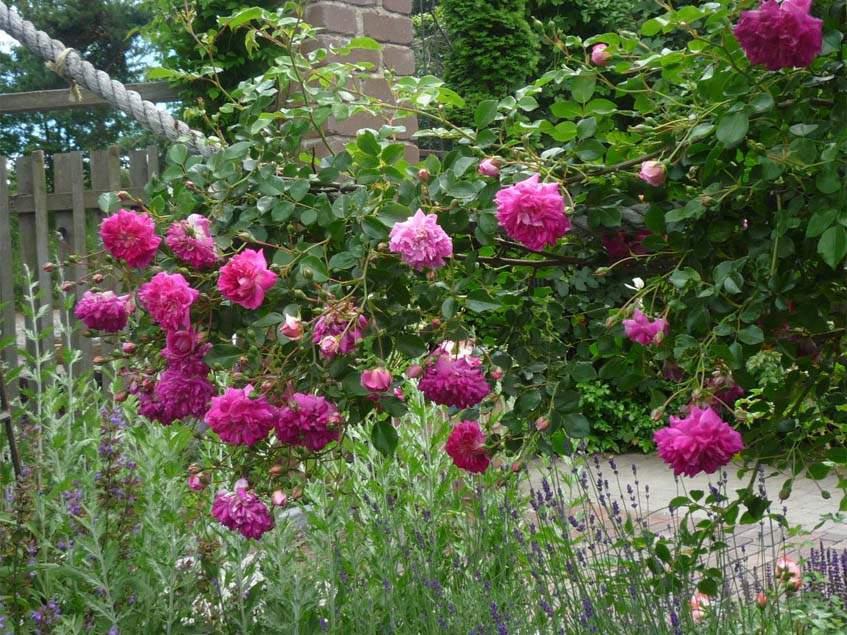 rózsa-levendula társítás