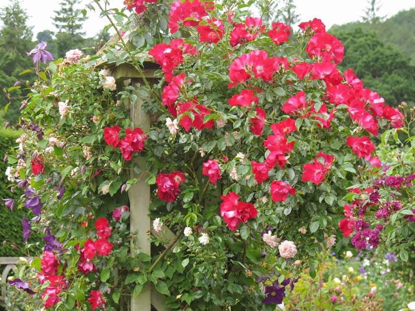 rózsa-iszalag