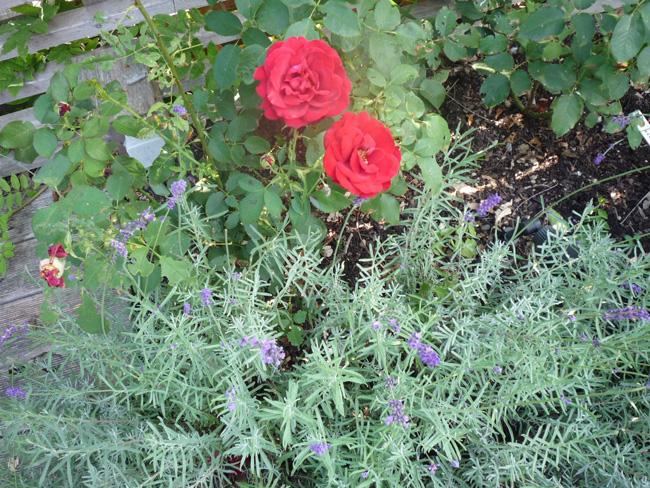 rózsa levendula társítás