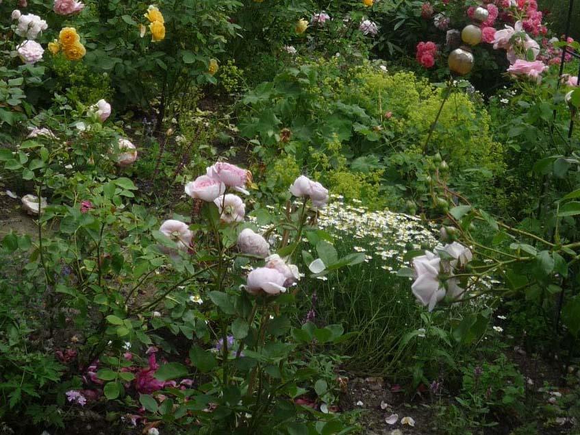 rózsák pipitérrel