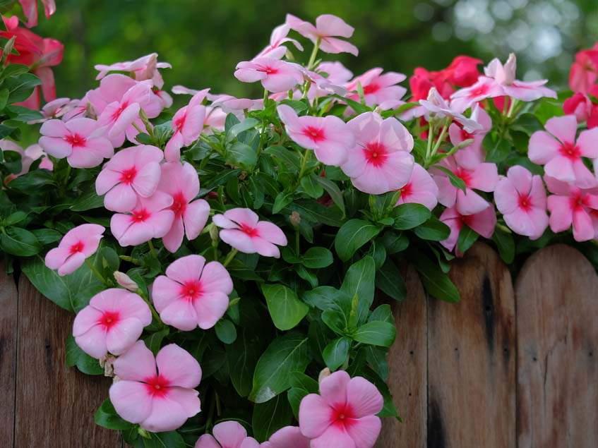 rozsameténg kerítésen