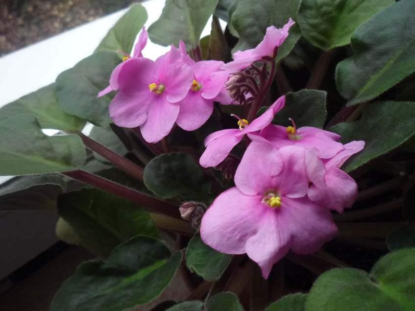 rózsaszín virágú fokföldi ibolya