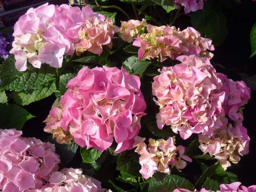 rózsaszín virágú hortenzia