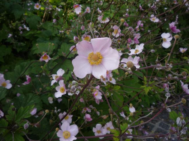 rózsaszín japán szellőrózsa