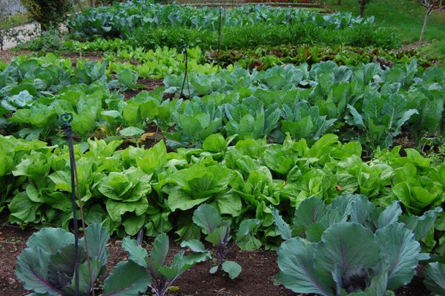 saláta-kert