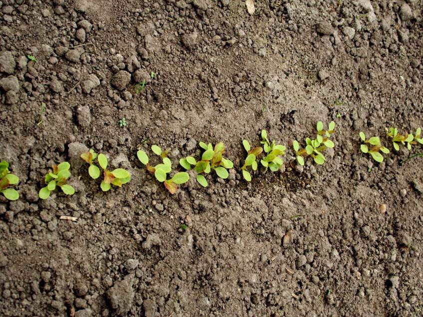 sorjelző saláta sor