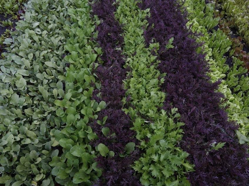 salátafajták termesztése a függőkertben