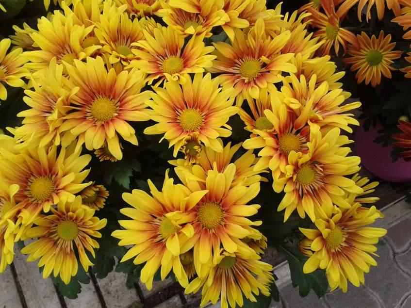sárga egyszerű virágú krizantém