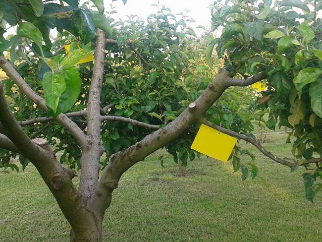 sárga rovarcspa