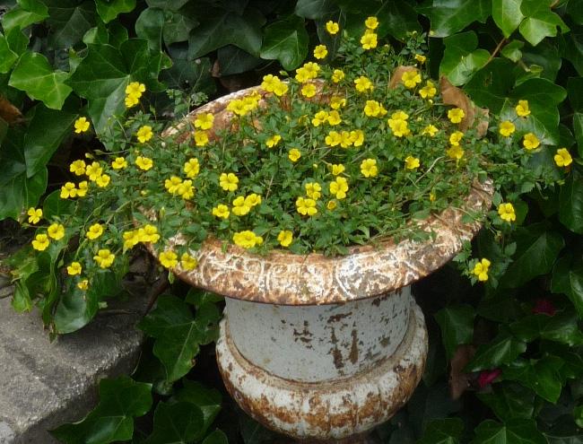 sárga virágú mekardónia