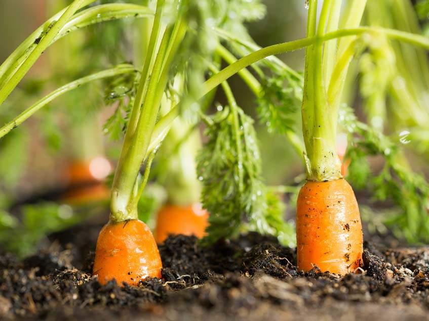 sárgarépa talajban