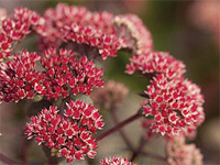 sedum 'Oriental Dancer'