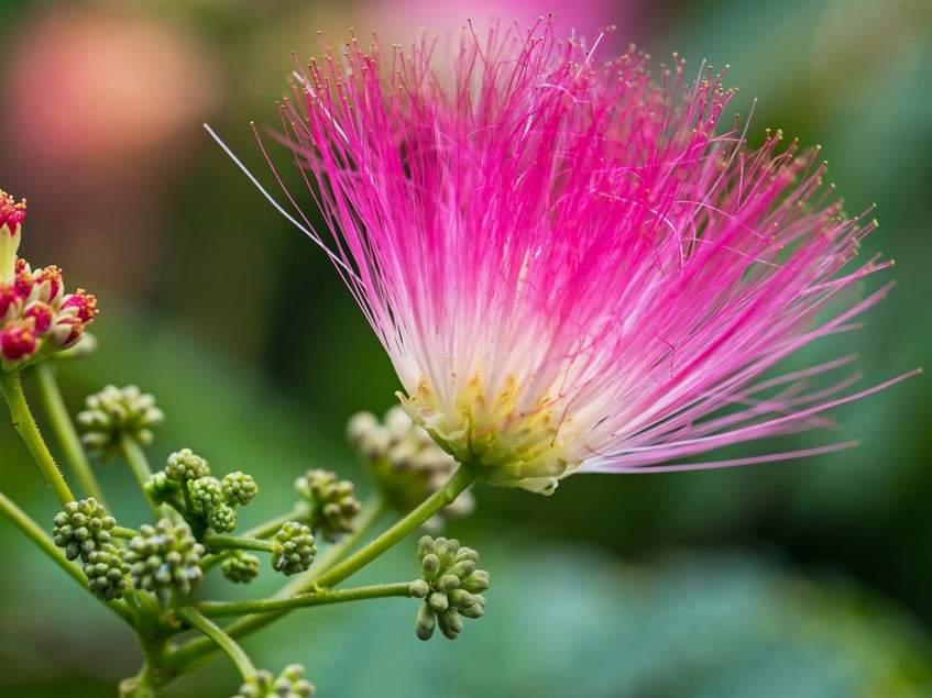 selyamakác virágzat