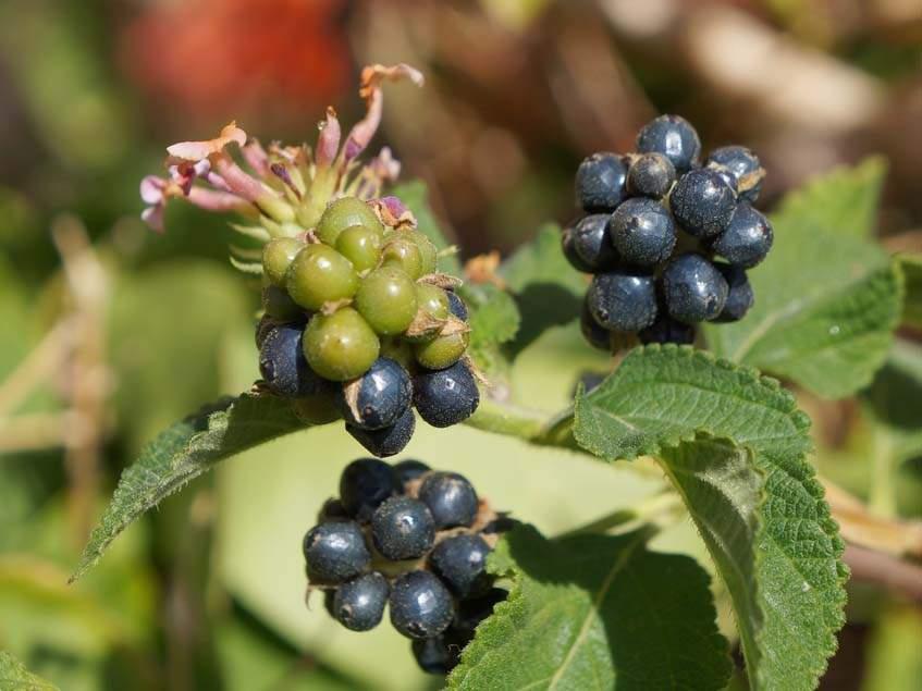 sétányrózsa termése
