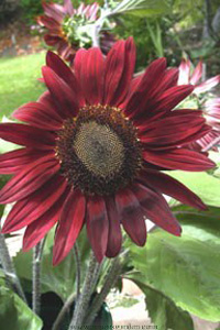 Helianthus 'Choc Cherry'