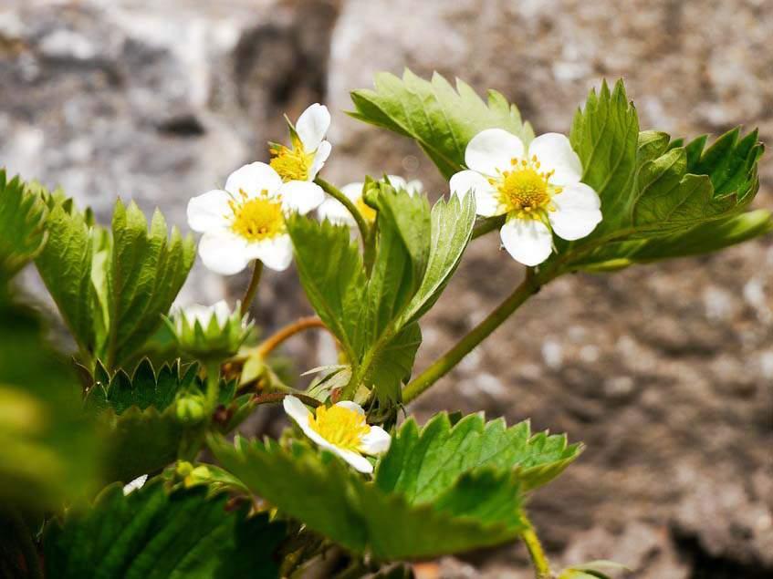 szamóca levelek