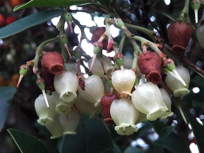 szamócafa virága