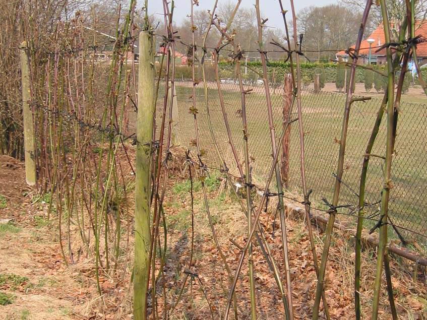 Thornfree szeder kora tavasszal
