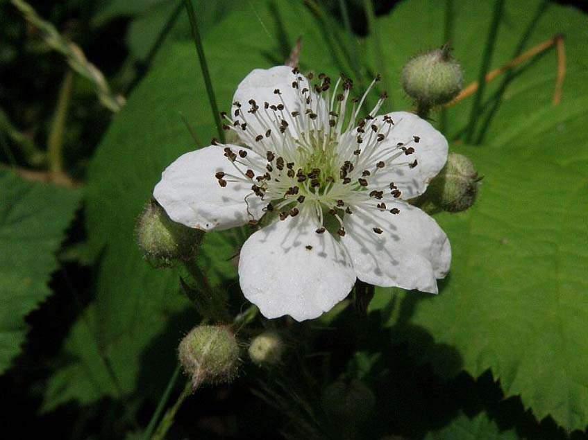 szedervirág