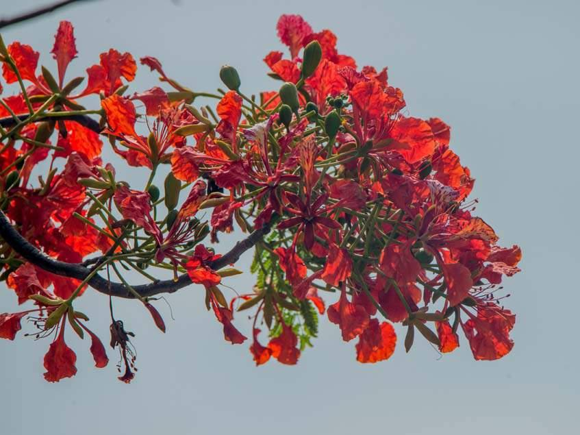 virágzó szegfűszegág