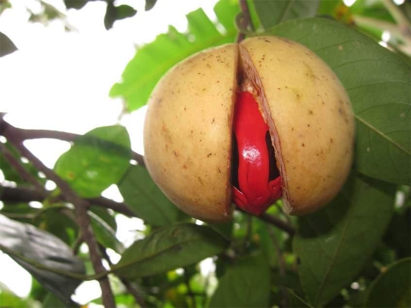 szerecsendió termés
