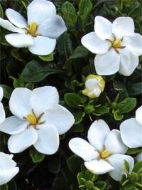szimpla virágú gardénia
