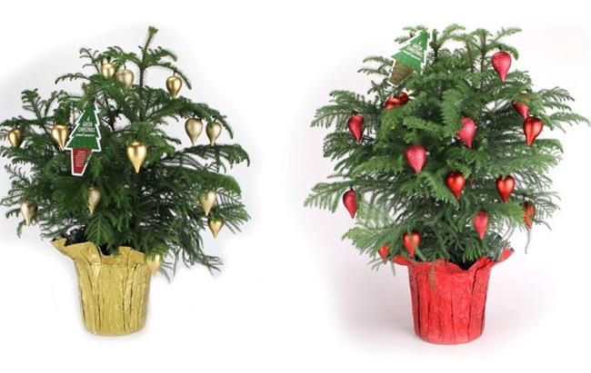 szobafenyő karácsonyfa