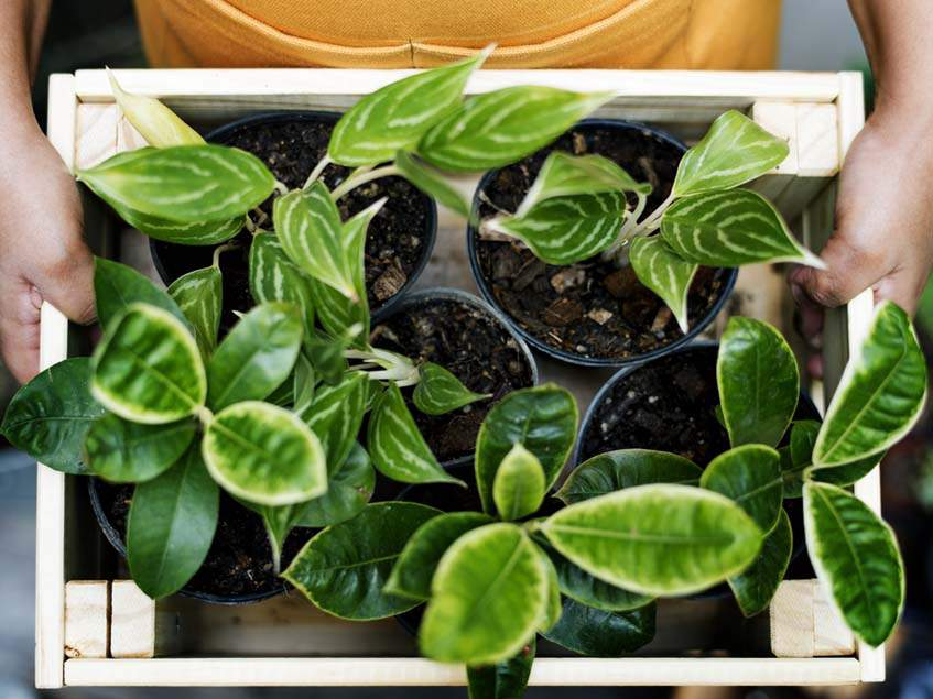 szobanövények beköltöztetése