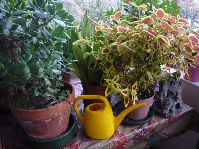 szobanövények verandán