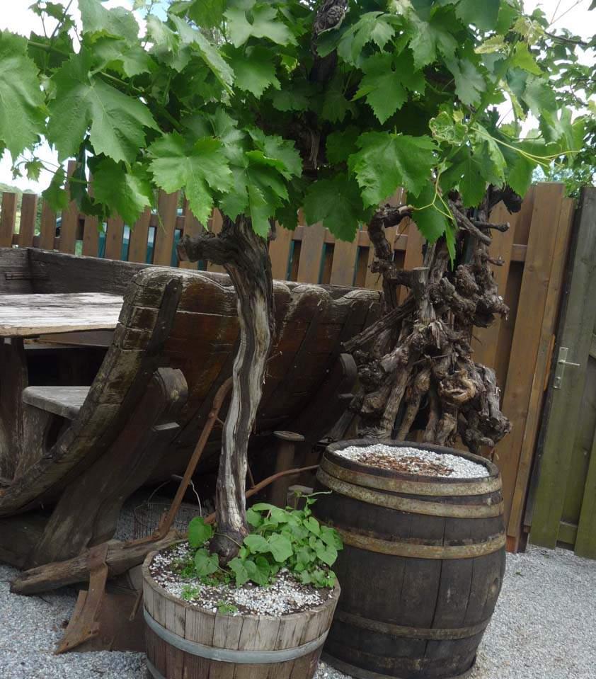 szőlőtőke hordóban