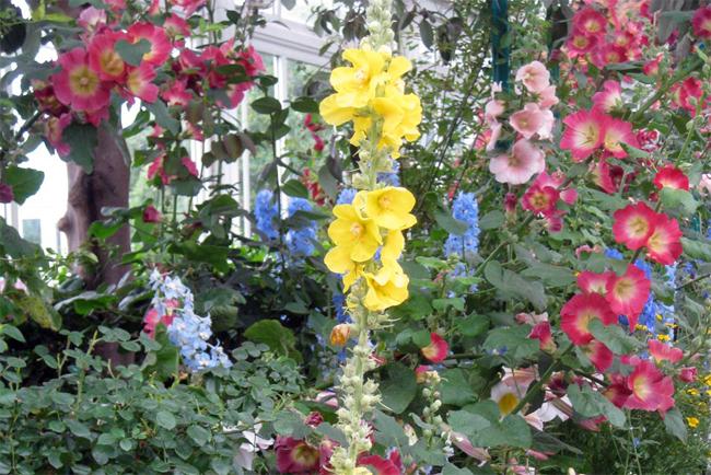 szöszös-ökörfarkkóró kertben